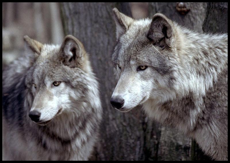 Les loups du Gévaudan à Ste Lucie